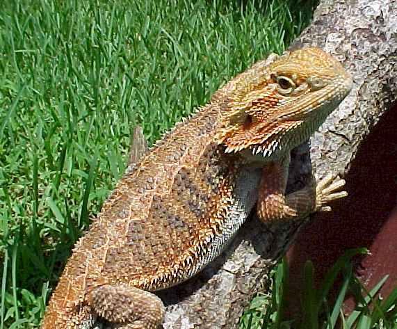 Dragon femelle barbu adulte